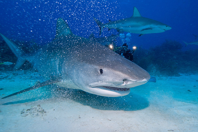Tiger Shark (Caribbean Reef Shark in the Background)