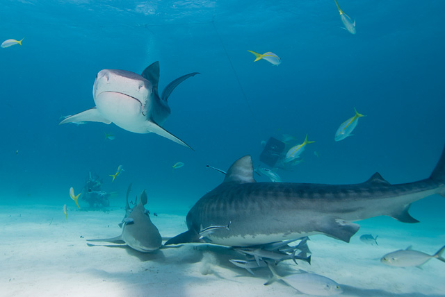 Tiger Sharks with Lemon Shark