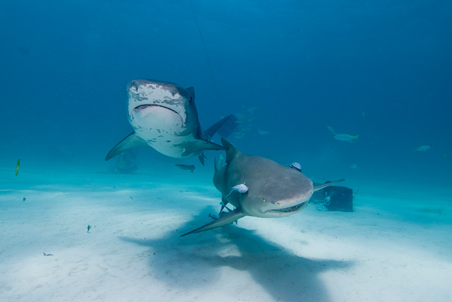 Tiger Shark with Lemon Shark