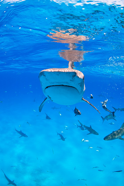 Tiger Shark (Caribbean Reef Sharks in the Background)