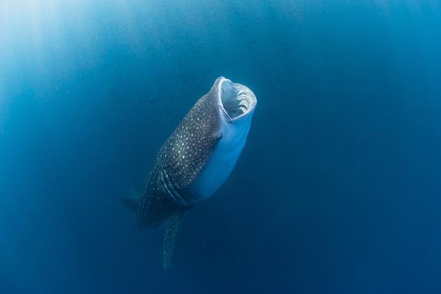 Whale Shark eating Krill