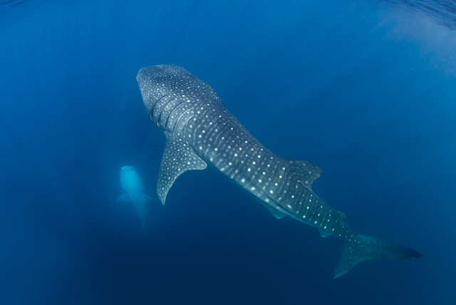Whale Sharks eating Krill