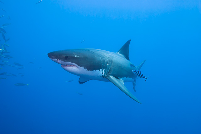 Great White Shark with Pilot Fish