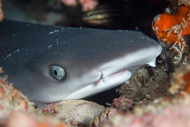 Junger Weissspitzen-Riffhai