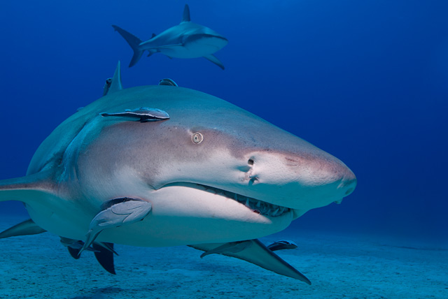 Lemon Shark (Caribbean Reef Shark in the Background)