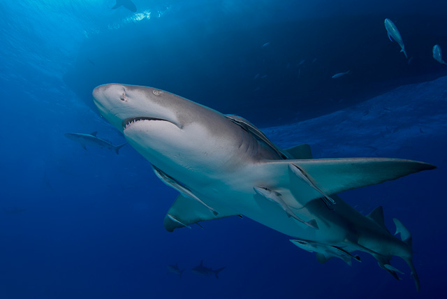 Lemon Shark with Remora