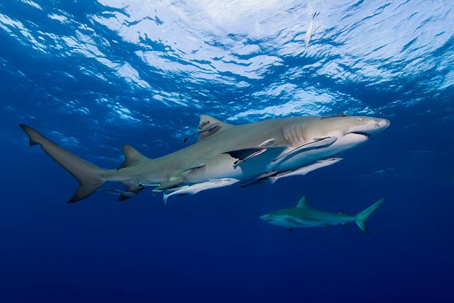 Zitronenhai (Karibischer Riffhai im Hintergrund)