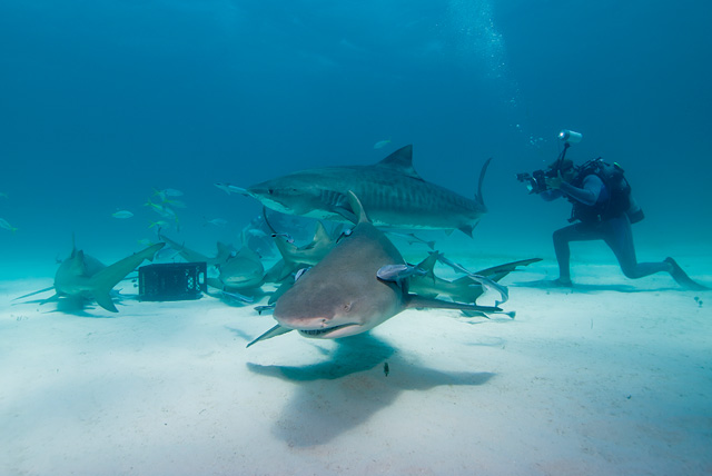 Lemon Shark (Tiger Shark in the Background)