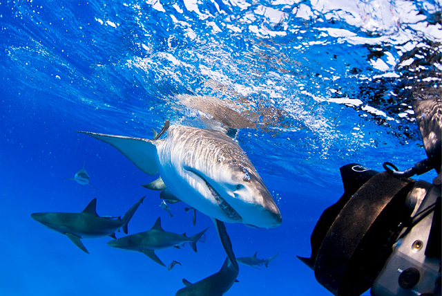Lemon Shark (Caribbean Reef Sharks in the Background)