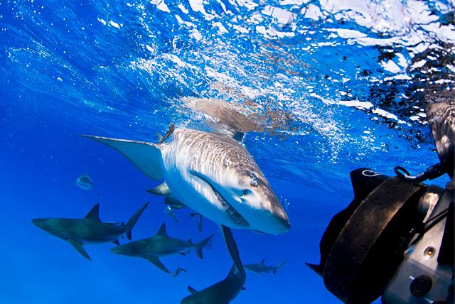 Zitronenhai (Karibische Riffhaie im Hintergrund)