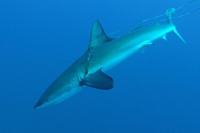 In einer Angelleine verhedderter Hai