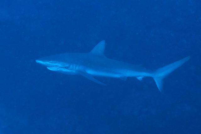 Galapagoshai mit Haken und Leine zwischen Maul und Kiemen