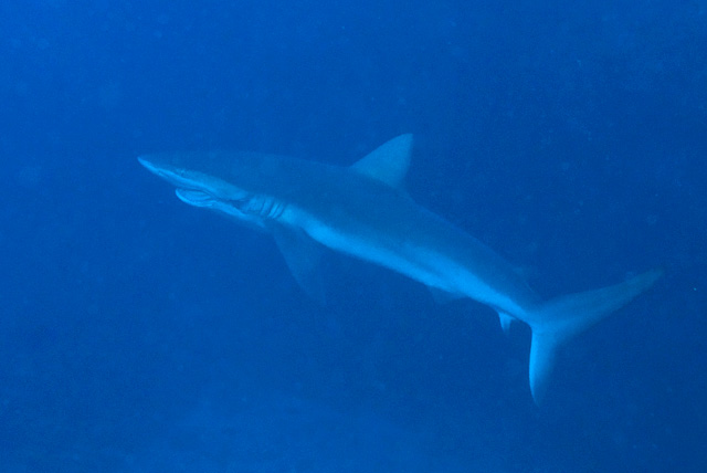 Galapagos Shark with Hook and Rope between Jaws and Gills