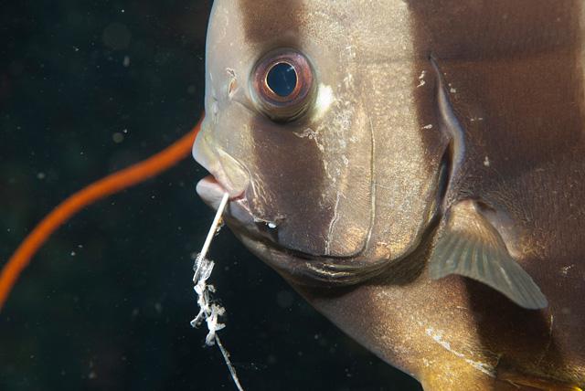 Fledermausfisch mit Anglerhaken im Maul (vermutlich durch Touristen Nachtfischen)
