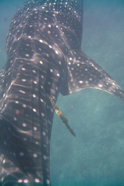 Harpunierter noch lebender Walhai