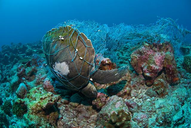 In einem Fischernetz ertrunkene Suppenschildkröte (Grüne Meeresschildkröte)
