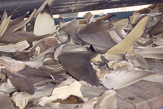 Zum Trocknen ausgelegte Haifischflossen