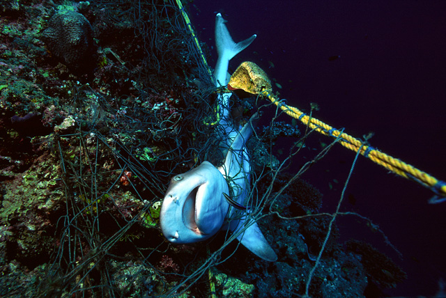 Strangled Reef Shark in a Fishing Net