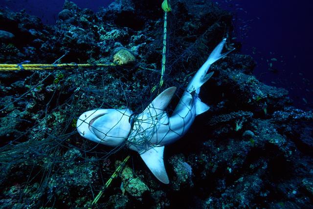 Strangulierter Riffhai in einem Fischernetz