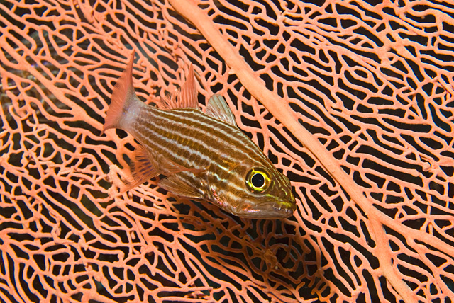 Indian Tiger Cardinalfish