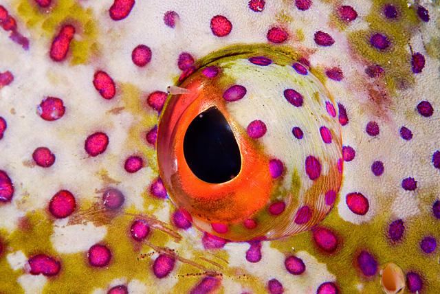 Eye of a Coral Grouper