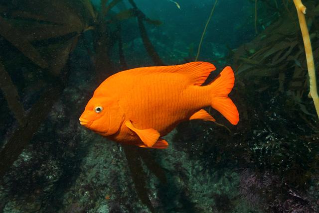 Garibaldi Damsel