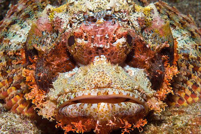 Drachenkopf (Skorpionfisch)
