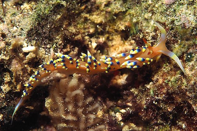 Slug / Flabellina (Phidiana indica)