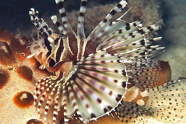 Zebra Lionfish (Zebra Dwarf Lionfish)