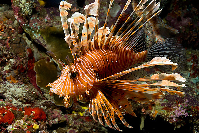 Red Lionfish (Common Lionfish)