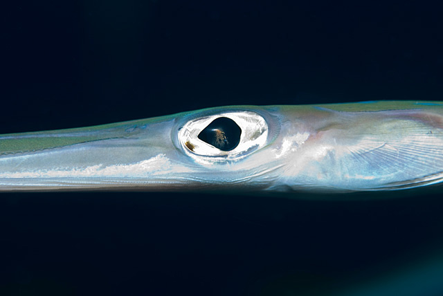 Eye of a Cornetfish