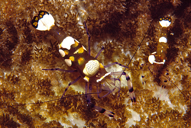 Short Hand Commensal Shrimp (Periclimenes brevicarpalis)