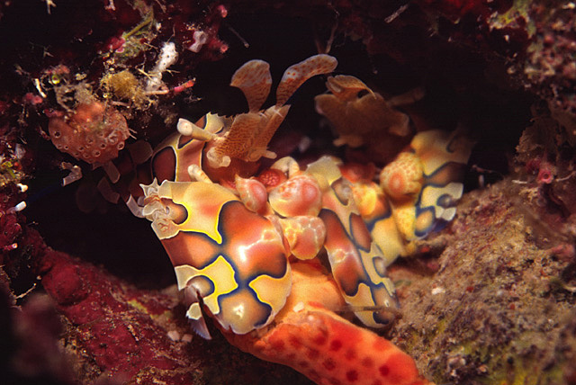 Harlekingarnelen (Hymenocera elegans) beim Fressen eines Seesterns