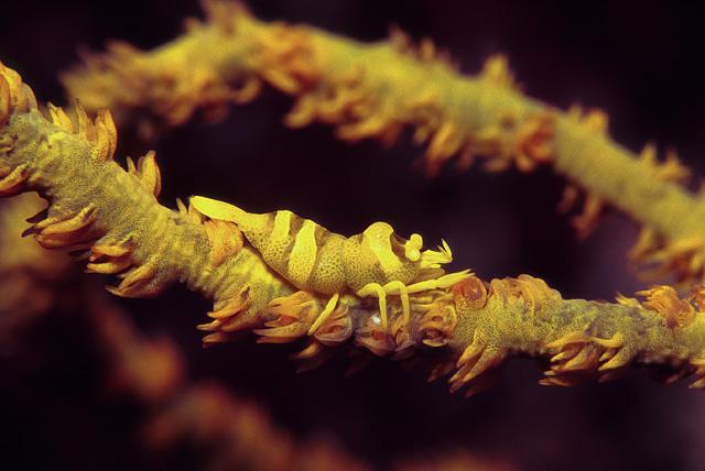 Schwarzkorallen-Partnergarnele (Pontonides unciger)