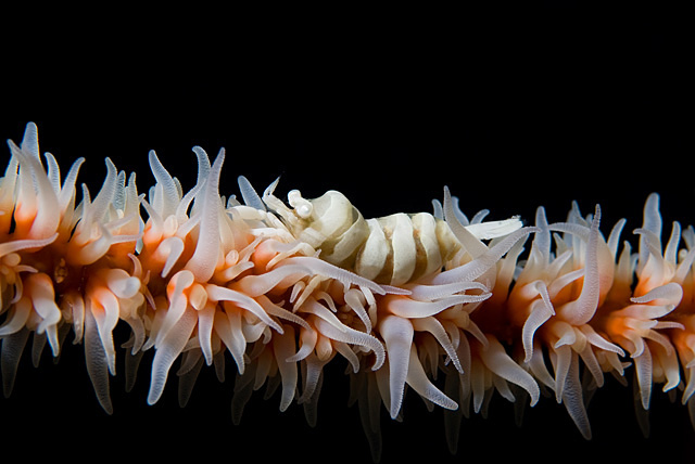 Black Coral Shrimp (Pontonides unciger)