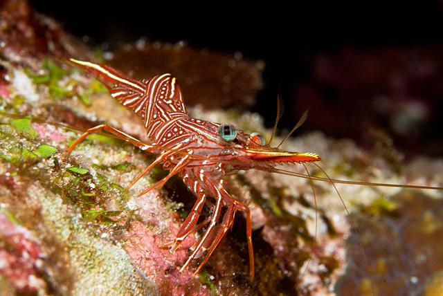 Durban Hingebeak Shrimp (Rhynchocinetes durbanensis)