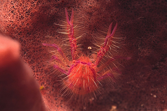 Pink Squat Lobster (Lauriea siagiani)