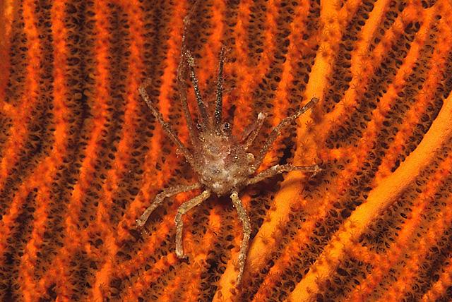 Coral Spider Crab (Hyastenus sp.)