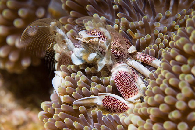 Anemone Porcelain Crab (Neopetrolisthes maculatus)