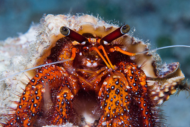 White Spotted Hermit Crab (Dardanus megistos)