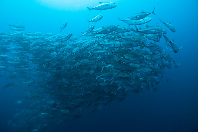 Bigeye Mackerels (Trevally / Jack Fish)