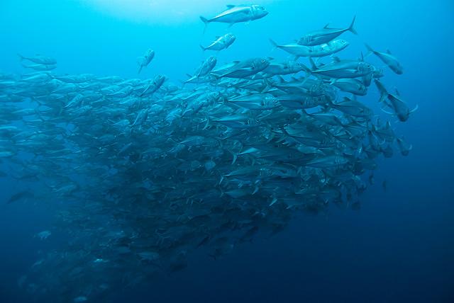 Bigeye Mackerels (Trevally / Jack Fish)