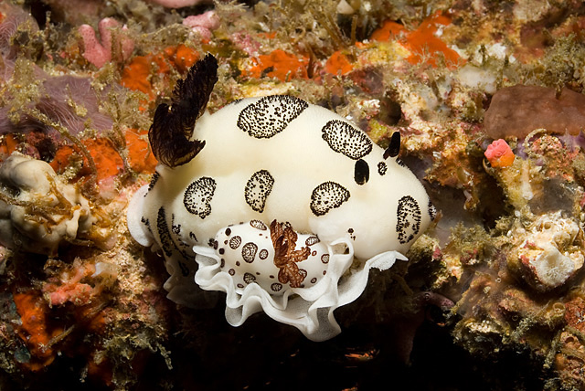 Schwarzweisse Rauhsternschnecke (Jorunna funebris) am Eier legen