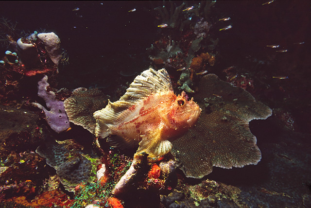Leaf Scorpionfish (Leaf Fish)
