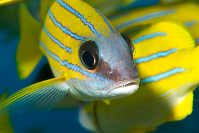 Blue Striped Snapper