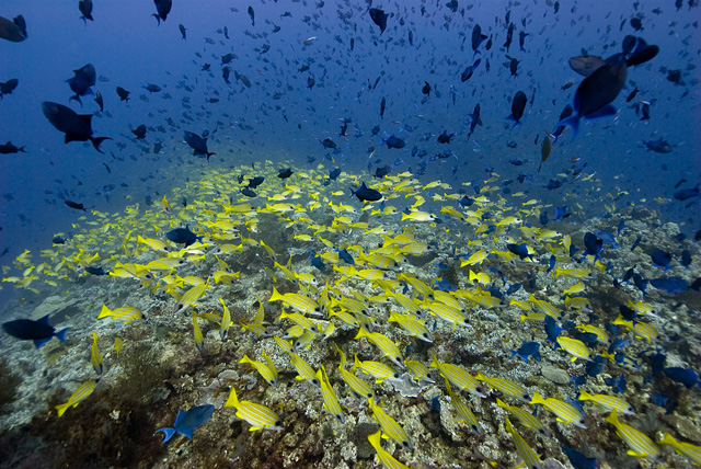 Shoals of Blue Striped Snappers (yellow) and Red Tooth Trigger Fish (dark blue)