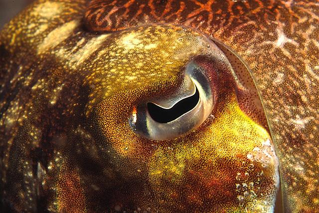 Eye of a Broadclub Cuttlefish (Common Reef Cuttlefish)