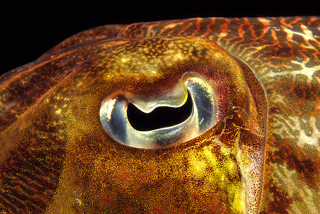 Eye of a Broadclub Cuttlefish (Common Reef Cuttlefish)