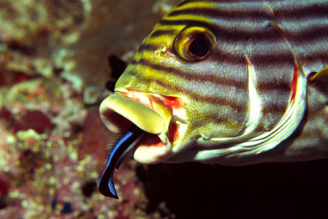 Cleaner Wrasse in Symbiosis with a Oriental Sweetlips