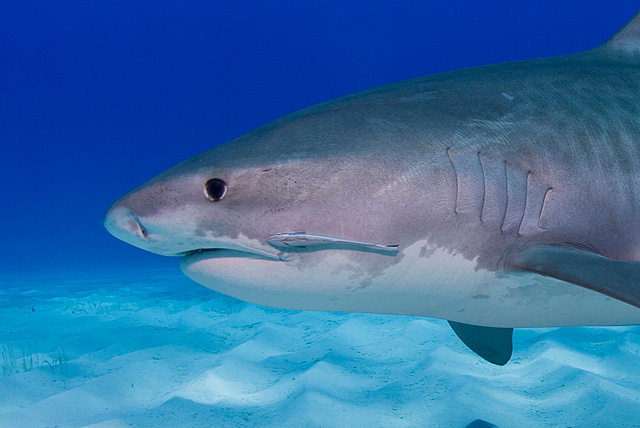 Juvenile Remora in Symbiosis with a Tiger Shark